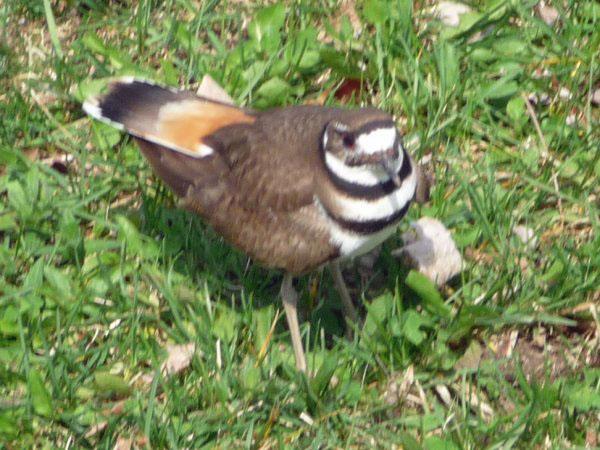 Killdeer defends nest