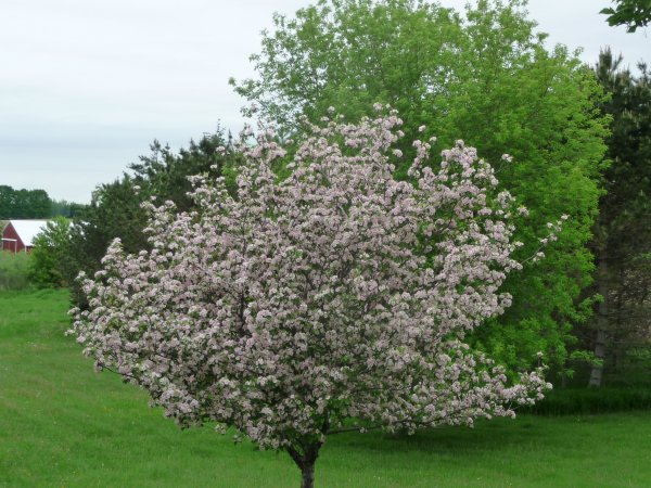 Crab apple in bloom