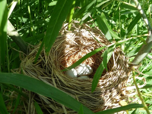 Three eggs in the nest.