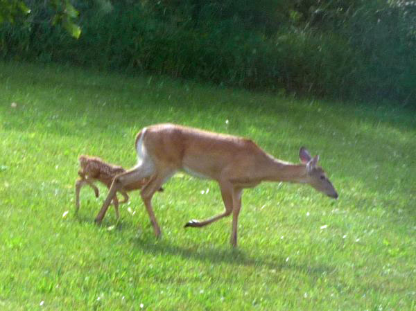 Mom and one of the twins look for better grass
