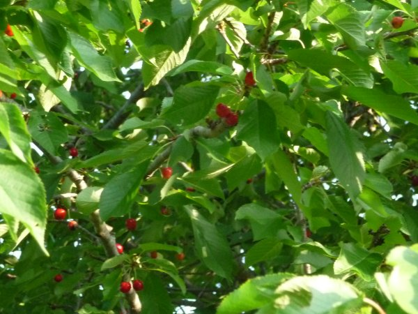 Sour cherries, but where are the birds?