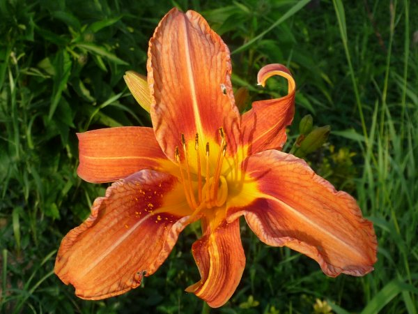 Day lily bursts forth in beauty