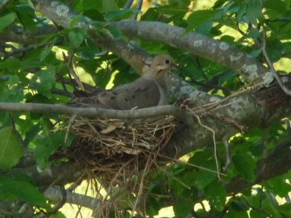 Momma dove sits bravely on her nest.