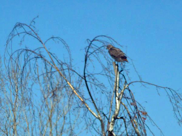 Red-tail on birch tree