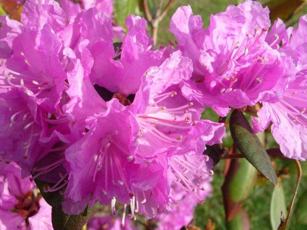 Azalea blooms first