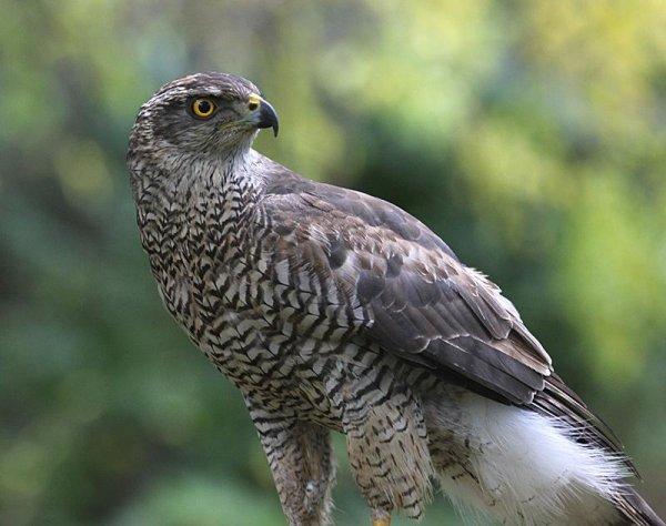 Northern Goshawk - courtesy of Audubon.org